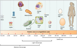 figure_03_06-1 relative sizes of different cellular components